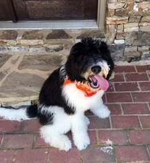 Saint Berdoodle Dog For Adoption in CANTON, GA, USA
