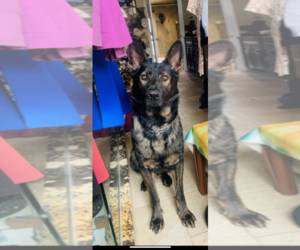 German Shepherd Dog Puppy for sale in MACOMB, MI, USA