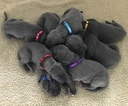 Great Dane Puppy For Sale in REDDING, CA, USA