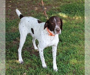 Father of the German Shorthaired Pointer puppies born on 03/07/2019