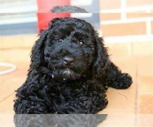 Goldendoodle Puppy for sale in S BEND, IN, USA