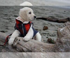 Golden Retriever Puppy for Sale in FORT STEILACOOM, Washington USA