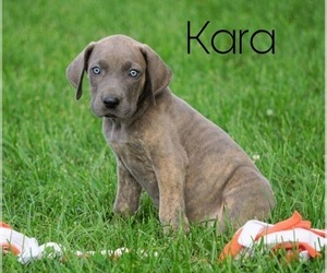 Great Dane Puppy for sale in FREDERICKSBG, OH, USA