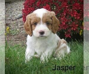Cavapoo Puppy for Sale in EPHRATA, Pennsylvania USA