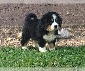 View Ad Miniature Bernedoodle Puppy For Sale Near Missouri