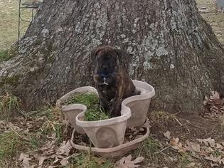 Cane Corso-Mastiff Mix Puppy for Sale in CABOOL, Missouri USA