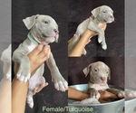 Puppy 9 American Bully
