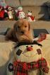 Puppy 0 Golden Retriever