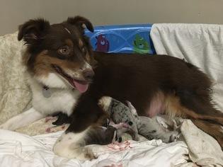 Australian Shepherd Puppy for sale in RAMSEUR, NC, USA
