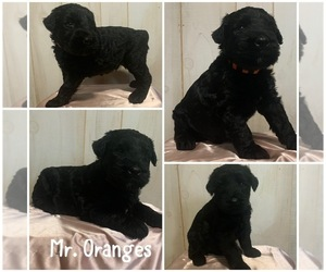 Schnauzer (Giant) Puppy for sale in CHARLOTTE, NC, USA