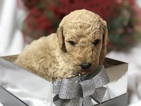 Goldendoodle Puppy For Sale in IRVING, TX,