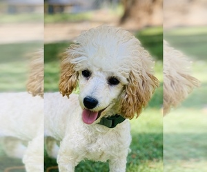 Bichpoo Dog for Adoption in DURHAM, North Carolina USA