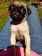 Pug Puppy For Sale in SWISSHOME, OR, USA