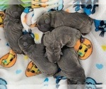 Small Photo #2 French Bulldog Puppy For Sale in TAMPA, FL, USA