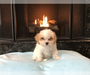 Cavachon-Cavalier King Charles Spaniel Mix Dog for Adoption in CHESTERFIELD, Michigan USA