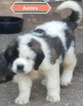 AKC Champion  Top line StBernard puppies 4 sale