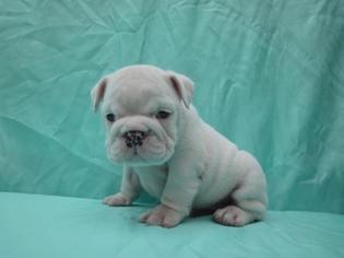Bulldog Puppy for sale in RICHMOND, VA, USA