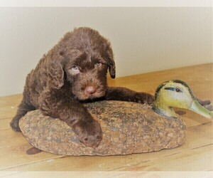 Labradoodle Puppy for Sale in ORLANDO, Florida USA