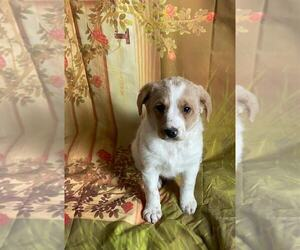 Aussie-Poo-Aussiedoodle Mix Puppy for Sale in MOUNT CLEMENS, Michigan USA