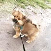 Shiranian Puppy For Sale in WILMINGTON, NC