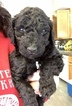 Australian Labradoodle Puppy For Sale in ELK GROVE, CA, USA