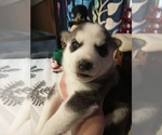 Small #20 Siberian Husky