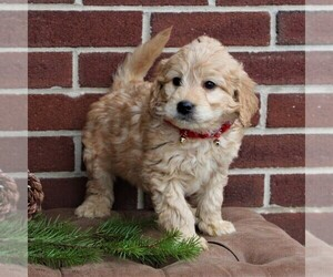 Goldendoodle-Poodle (Miniature) Mix Dog for Adoption in LANCASTER, Pennsylvania USA