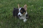Pembroke Welsh Corgi Puppy For Sale in ATWOOD, Illinois,