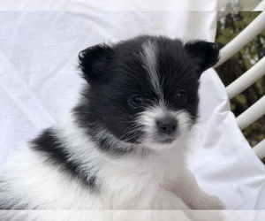 Pomeranian Puppy for Sale in MUNCIE, Indiana USA