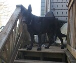 Small Photo #1 German Shepherd Dog Puppy For Sale in RICHMOND, KY, USA