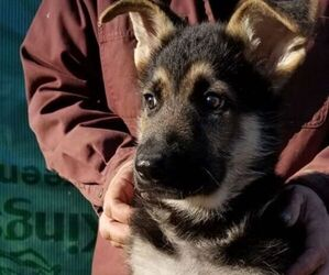 German Shepherd Dog Puppy for sale in SHERIDAN, OR, USA