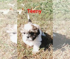 Shih Tzu Puppy for sale in TOCCOA, GA, USA