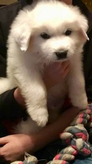 Great Pyrenees Puppy For Sale in GREENWOOD, SC