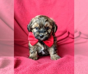 Medium Poodle (Miniature)-Shorkie Tzu Mix