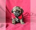 Small Poodle (Miniature)-Shorkie Tzu Mix