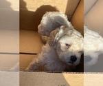 Small #3 Maltipoo-Poodle (Miniature) Mix