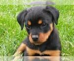 Small #58 Rottweiler