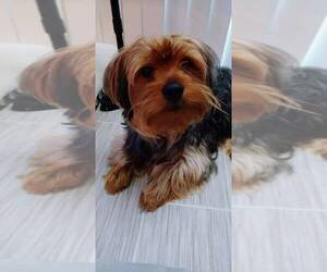 Father of the Yorkshire Terrier puppies born on 02/17/2021
