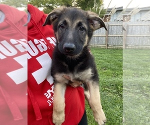 German Shepherd Dog Puppy for sale in BEECH GROVE, IN, USA