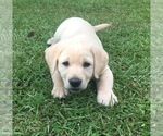 Labrador Retriever Puppy For Sale in KOSCIUSKO, MS, USA