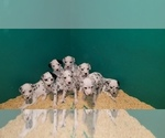 Small Photo #1 Dalmatian Puppy For Sale in DUVALL, WA, USA