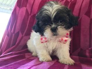 View Ad Shih Tzu Puppy For Sale Pennsylvania Peach Bottom Usa