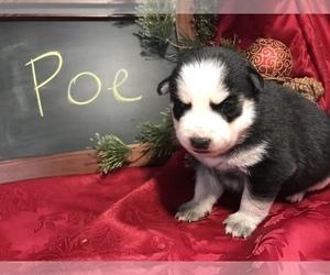 Pomsky Puppy for sale in SULLIVAN, IL, USA