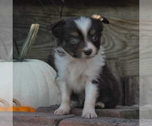Miniature Australian Shepherd Dog for Adoption in STRASBURG, Pennsylvania USA