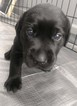 Labrador Retriever Puppy For Sale in TAMPICO, Illinois,