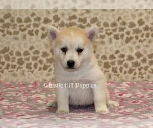Pomsky Puppy for Sale in DENVER, Pennsylvania USA