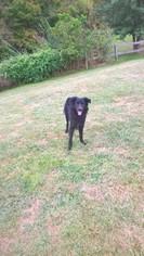 English Shepherd Puppy for sale in WALTON, KY, USA