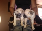 Pugs for Christmas Great Present for Kids
