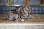 Cocker Spaniel Puppy For Sale in FREDERICKSBURG, Ohio,