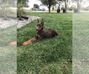 Doberman Pinscher Puppy for sale in FRED, VA, USA